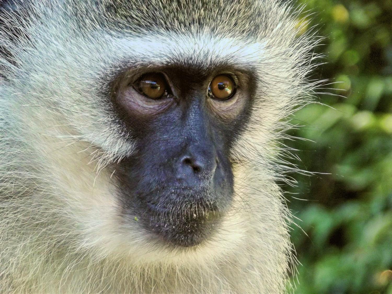 Was sozialen stress bei Affen kann uns sagen, über die menschliche Gesundheit