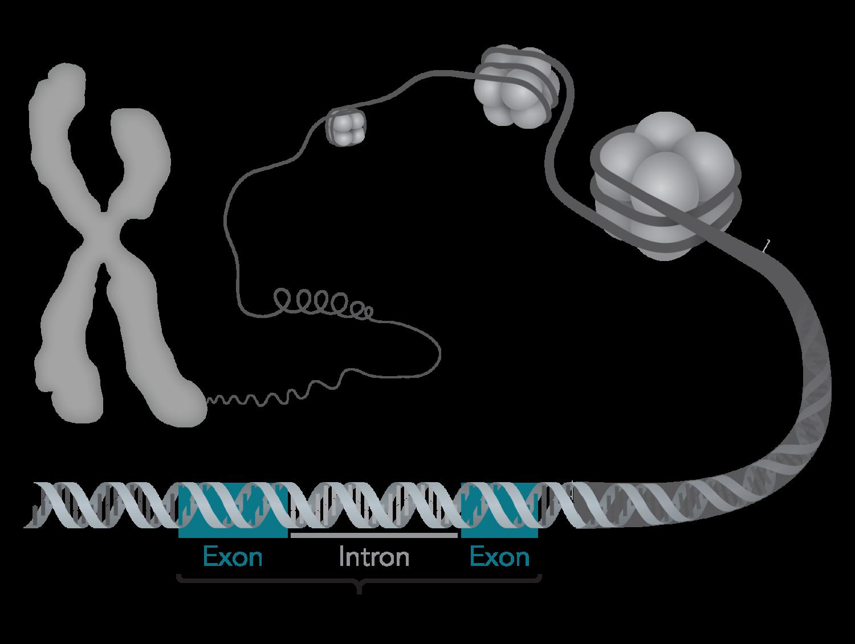 Wissenschaftler erzeugen hohe Qualität der vaskulären Zellen durch Genom-editing-Technologie