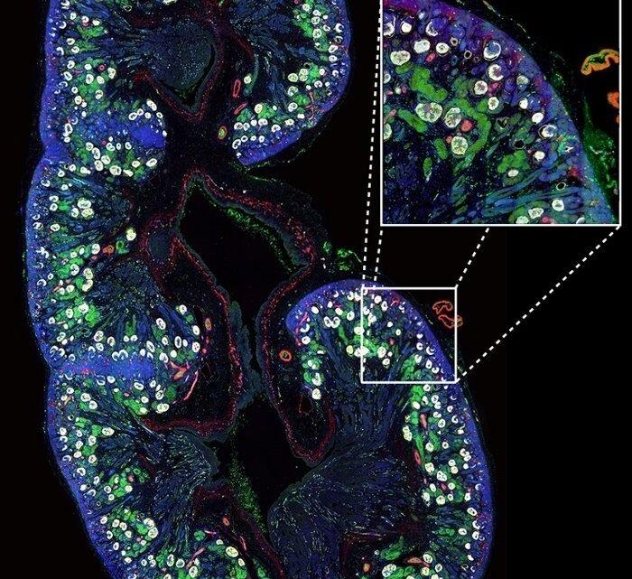 Wissenschaftler kartieren Zelltypen in der fötalen Niere