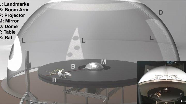 Ratten, die in augmented reality helfen zu zeigen, wie das Gehirn bestimmt den Ort