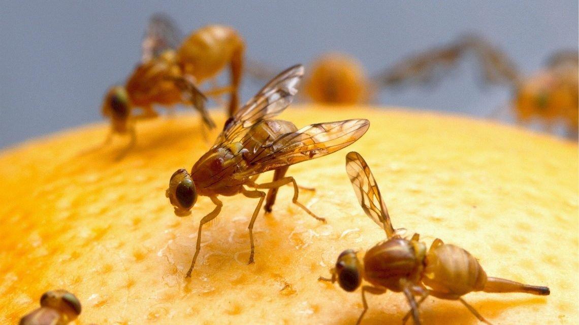 Forscher finden oxidativer stress spielt eine Rolle in sagen, Fruchtfliegen, wenn Sie schlafen