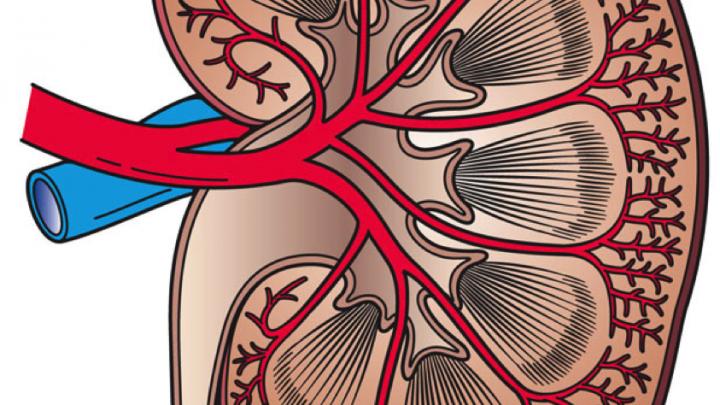 Computer Niere bieten könnte sicherer tests für neue Medikamente