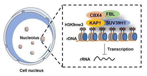 Die Verjüngung der alternden Zellen, hilft zur Heilung von Arthrose durch gen-Therapie