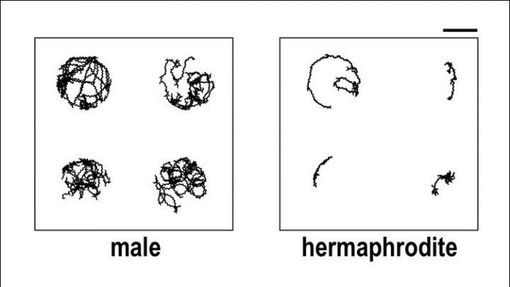 Dopamin reguliert geschlechtsspezifische Unterschiede in worms