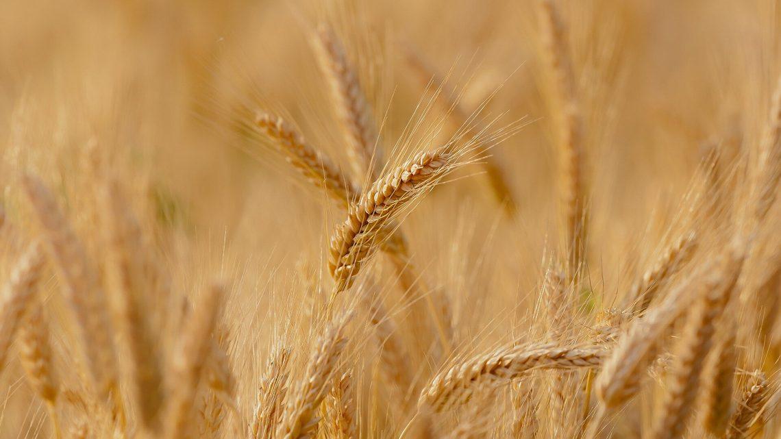 Identität der Allergene verantwortlich für durum-Weizen-Allergie ist enthüllt