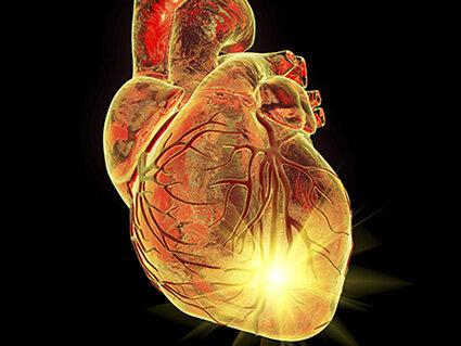 Entziffern das regenerative Potenzial von Neugeborenen säugetier-Herzen