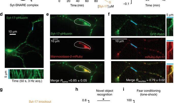 Single-protein spielt eine wichtige dual-Versand Rolle im Gehirn
