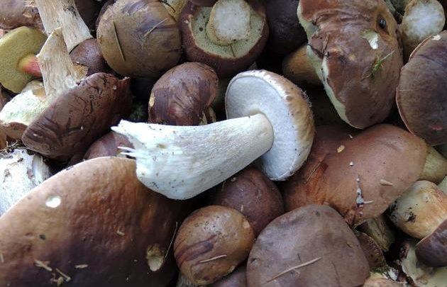 Schwer verdaulich: Pilze besonders gründlich kauen