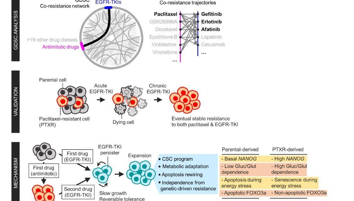 Welche Energieträger einen 'domino-Effekt' in der Krebs-drug-Resistenz?