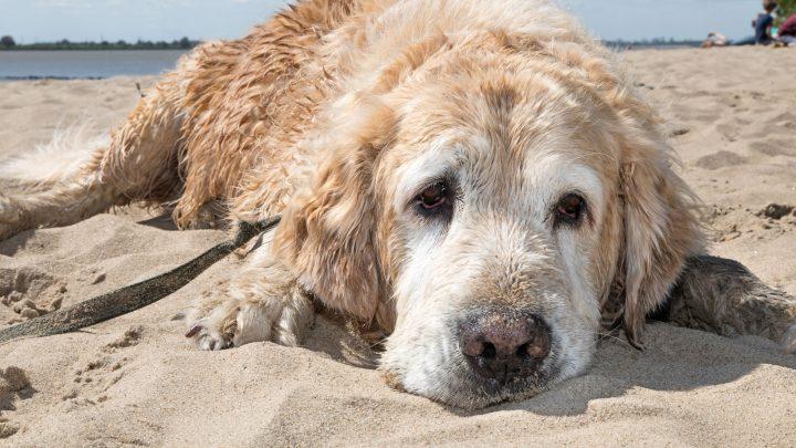 Auch Hunde können einen Sonnenbrand bekommen