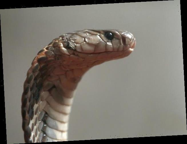 Nach Corona, Malaria und Dengue: Brite überlebt auch noch Kobra-Biss