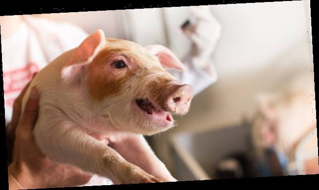 Kontroverse um Antibiotika für Tiere